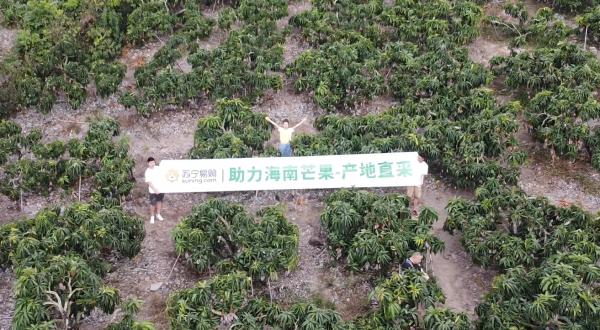 产地直采上千亩,苏宁超市助力海南贵妃芒销售