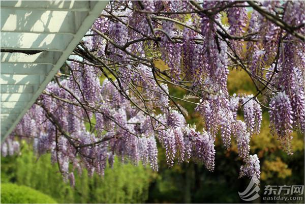 紫藤花开如瀑,邂逅一场紫色浪漫