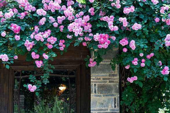 晨读 | 蔷薇作伴