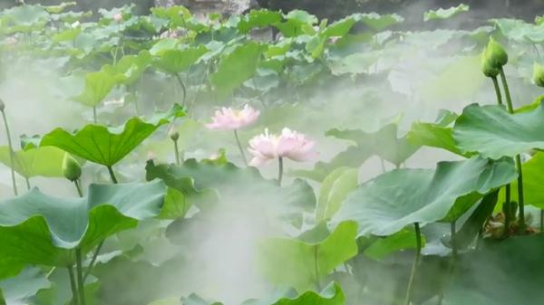 视频   赏荷花睡莲 品荷香盛宴