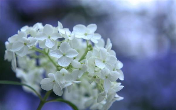 晨读 | 送你一束绣球花