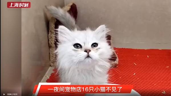 视频 |上海一宠物店16只小猫一夜失联 警察蜀黍异地抓捕偷猫贼