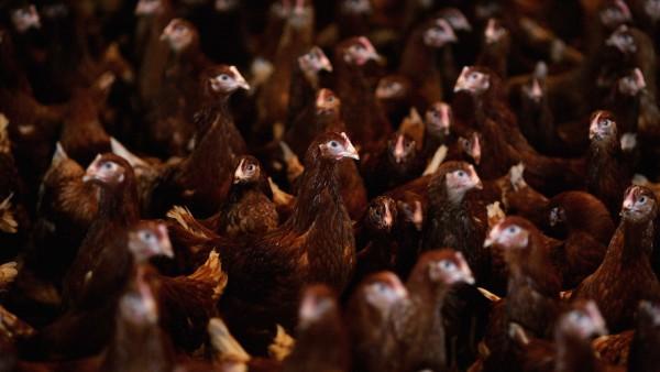 """英国超市拒绝销售美国""""氯洗鸡"""""""