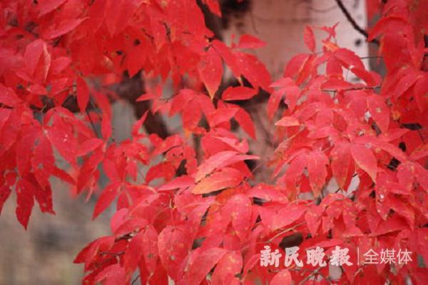 鹧鸪天 红叶