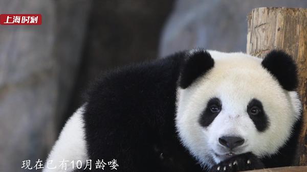 新民拍客 | 野生动物园为大熊猫征名啦!