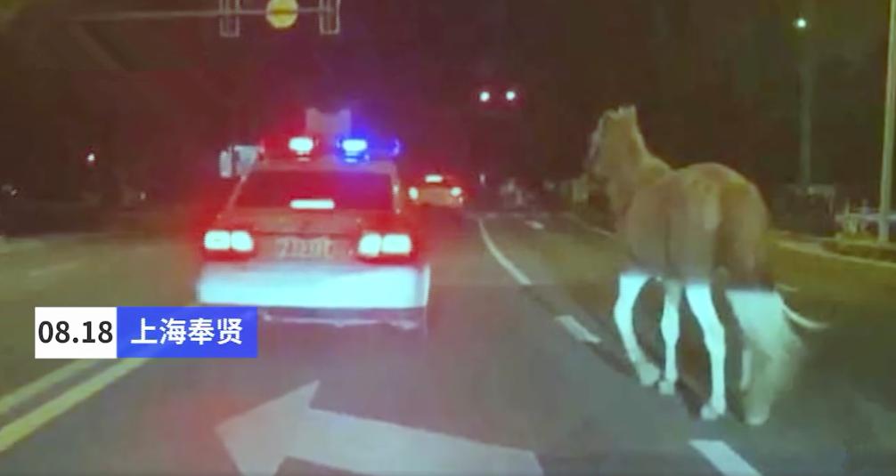 上海马路上真的有马!白龙马深夜独自溜达,竟然来自......