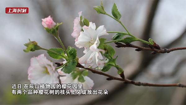 视频 | 秋天也能看樱花!来辰山植物园体验初秋浪漫