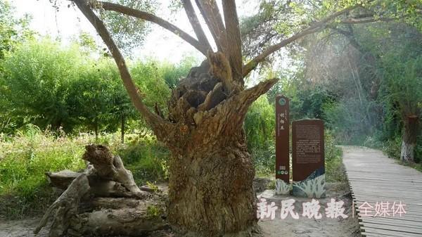 """泽普金湖杨景区有一棵1400年的""""胡杨王"""""""