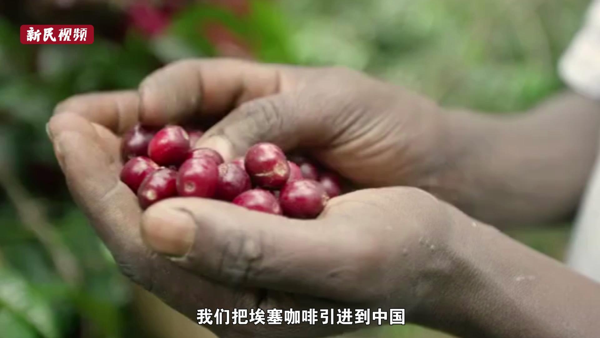 展商安家记① | 从一颗生豆到一家咖啡馆,埃塞俄比亚咖啡香飘上海