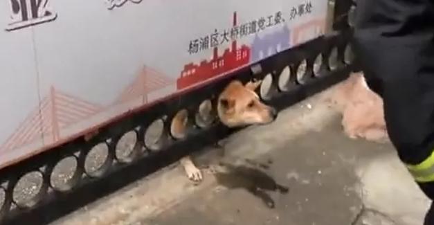 哭笑不得!上海一狗狗太顽皮,狗头卡在铁门里!
