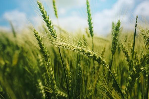 明月谈   最后一丛小麦