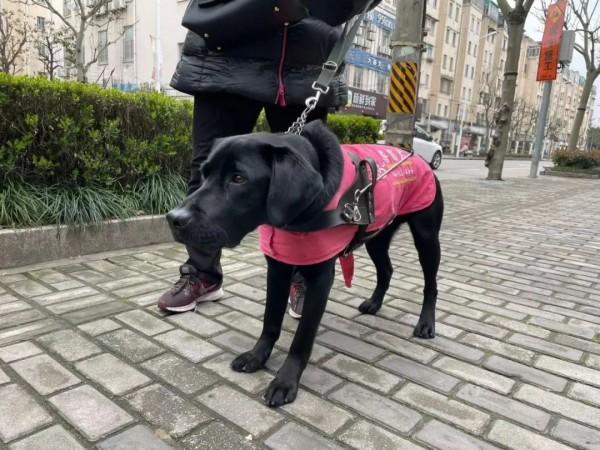 导盲犬不能在小区排尿?视障阿姨哭诉,邻居烦恼!总算有办法了!