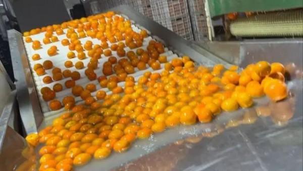 震惊!上海人爱吃的沃柑,放2个月都不会烂!果农却称从来不吃…