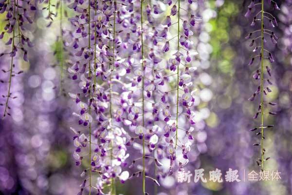 晨读 紫藤诗会