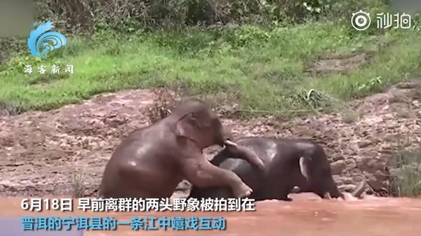 勾肩搭背 2头离群小象江中嬉戏玩耍