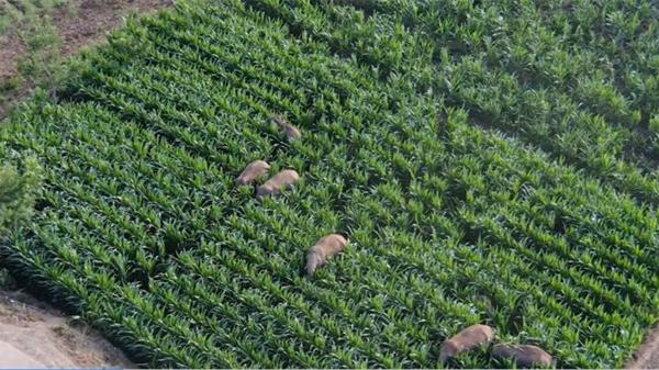 视频 15头北移亚洲象均在监测范围内,白天吃玉米,夜晚玩水管