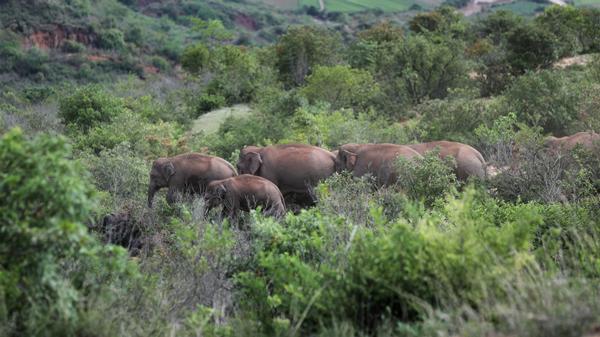 云南北移亚洲象群持续在易门县十街乡活动