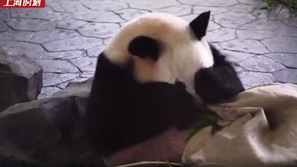 """视频   三只大熊猫过""""集体生日"""""""