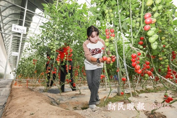 聚焦重点产业 助力乡村振兴——上海援疆莎车分指坚持产业振兴带动乡村振兴